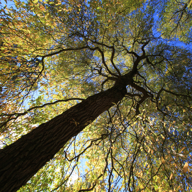 """Autumn Tree Canopy"" stock image"