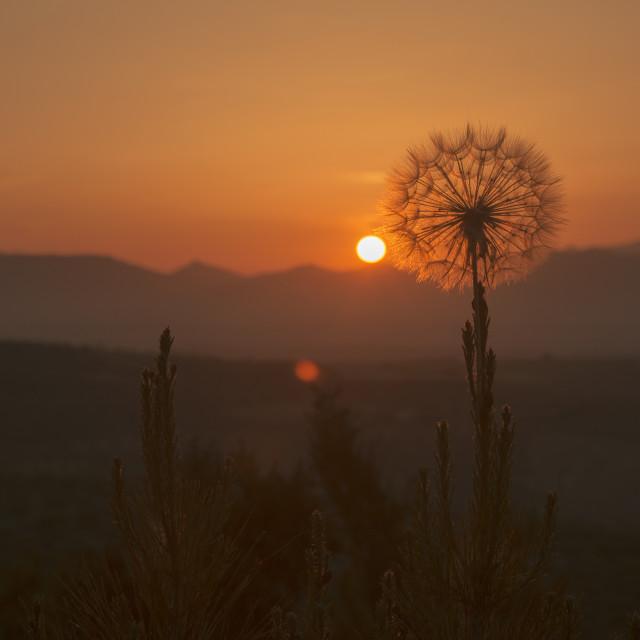 """Dandelion sunset"" stock image"