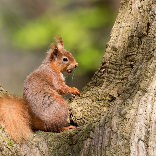 """Red Squirrel in Tree"" stock image"