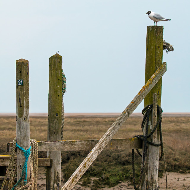 """Black-headed Gull on Jetty"" stock image"