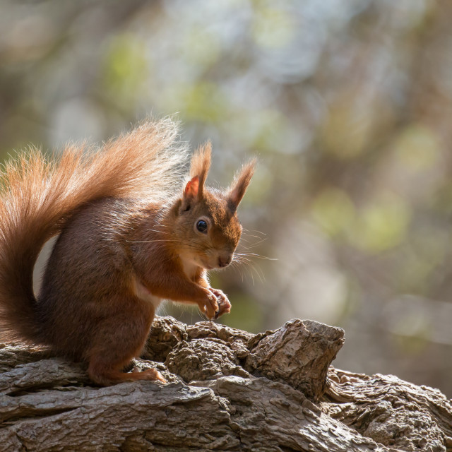 """Red Squirrel on Fallen Tree"" stock image"