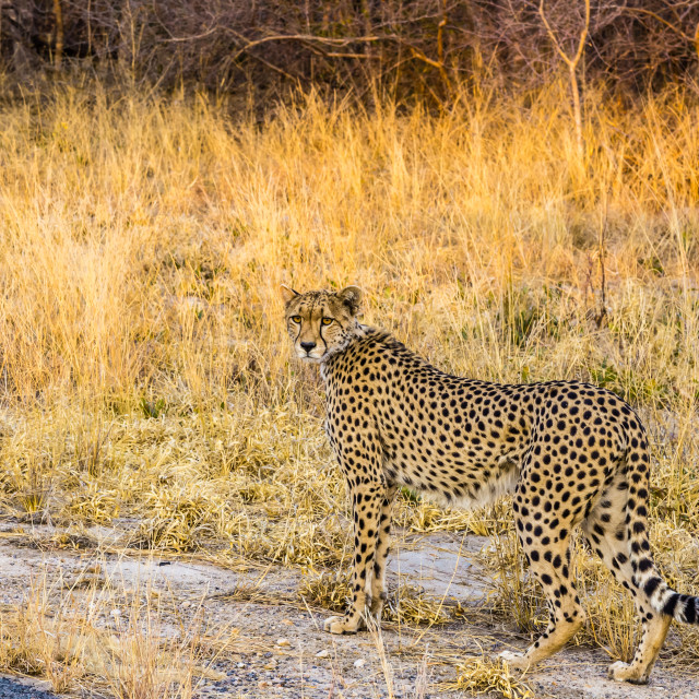 """""""Cheetah standing by the roadside."""" stock image"""
