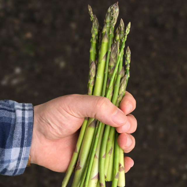 """""""A handful of asparagus"""" stock image"""