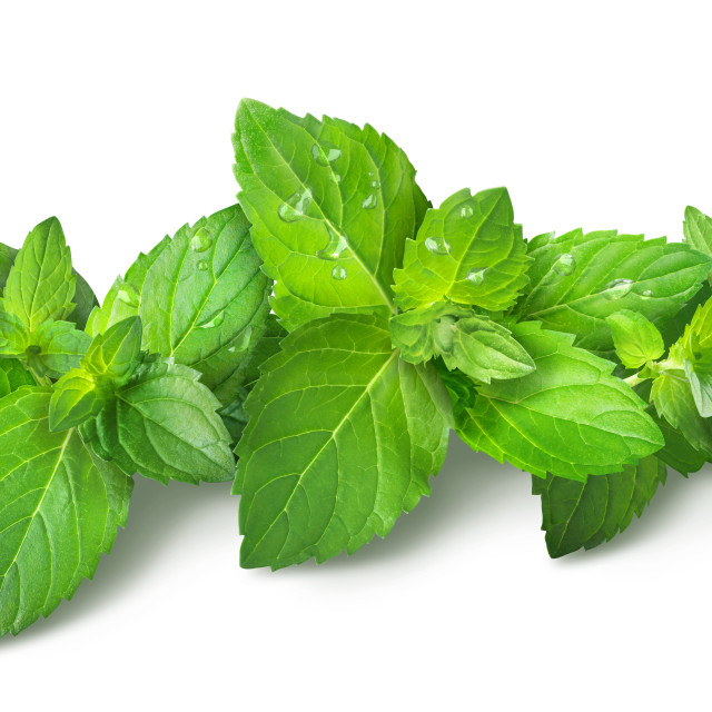 """""""Clusters of vibrant green spearmint leaves and water droplets on a white..."""" stock image"""
