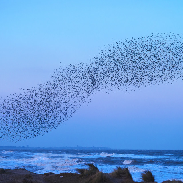 """Murmuration of starlings at dusk, RSPB Reserve Minsmere, Suffolk, England"" stock image"