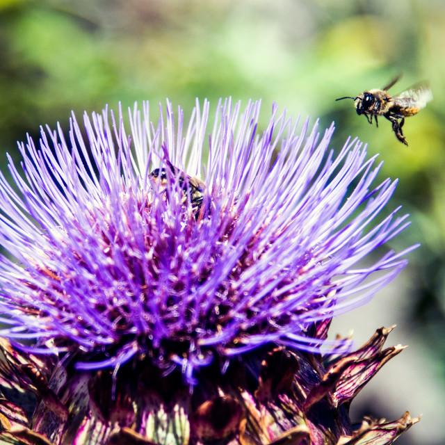 """""""Bee Approaching Thistle"""" stock image"""