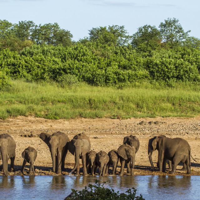 """""""herd of elephants in Africa"""" stock image"""