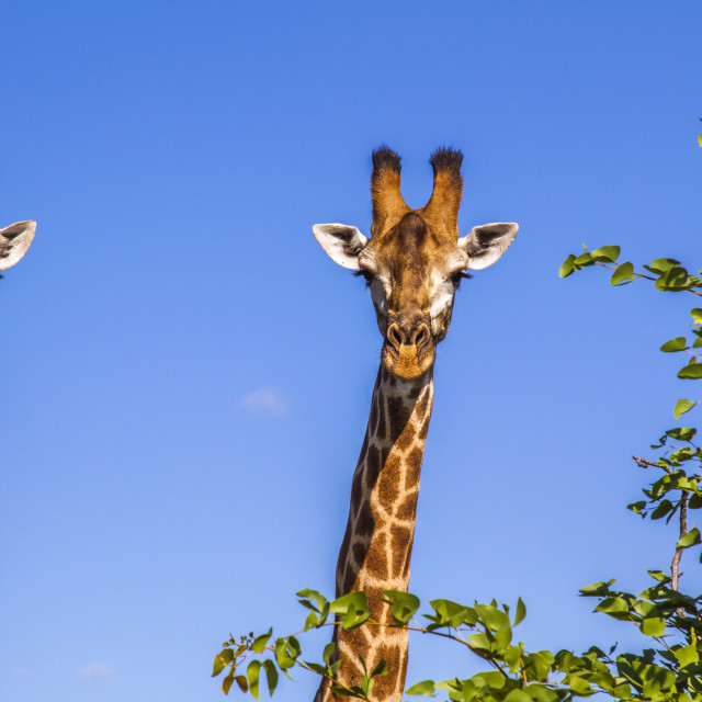"""""""portrait of two wild giraffes in blue background"""" stock image"""
