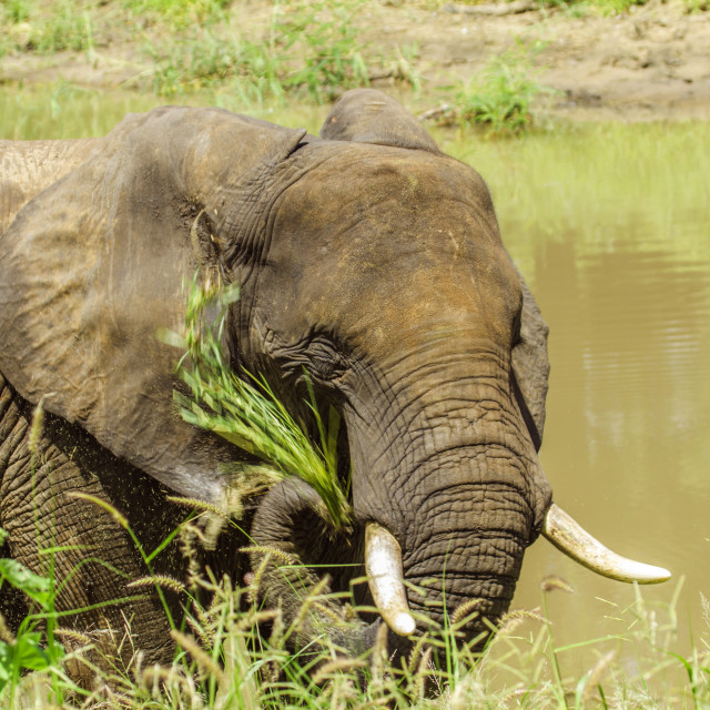 """""""african elephant eating grass"""" stock image"""