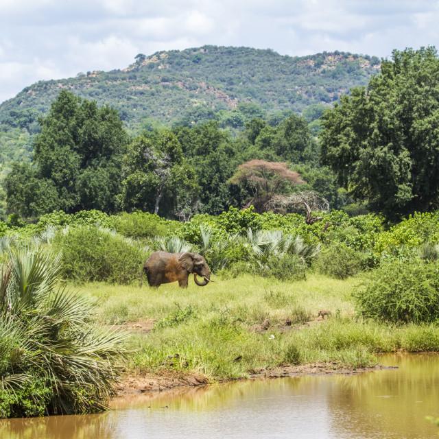 """wild elephant in its wild habitat, Africa"" stock image"