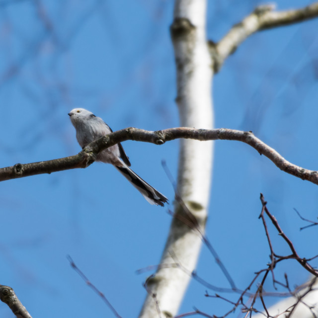"""""""Cute Long-tailed Tit on a twig"""" stock image"""