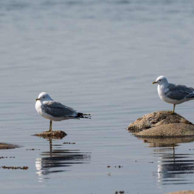 """""""Pair of Seagulls by the coast"""" stock image"""