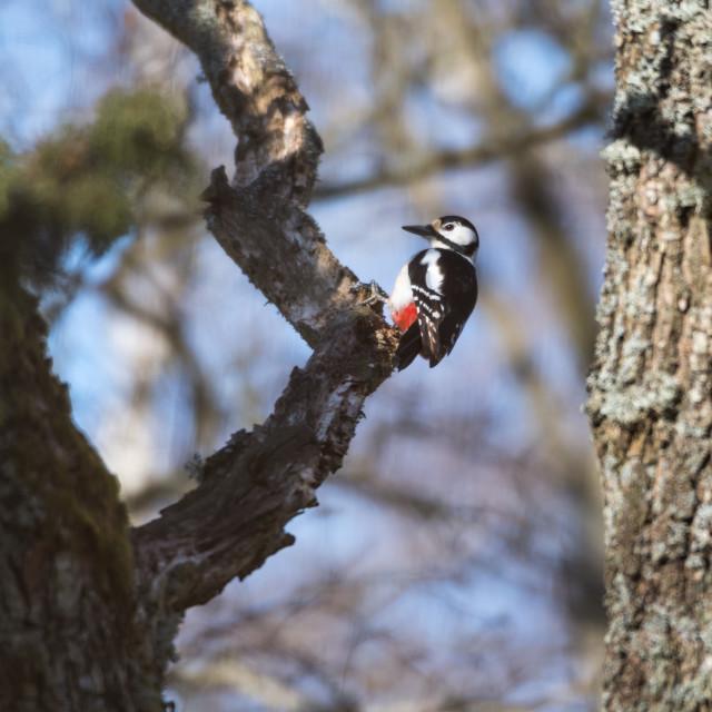 """Woodpecker in a tree"" stock image"