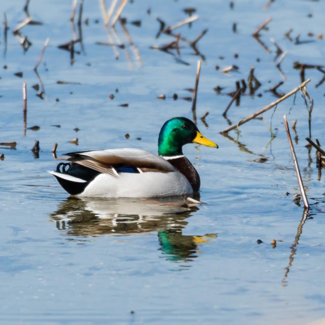 """Beautiful mallard in natural habitat"" stock image"