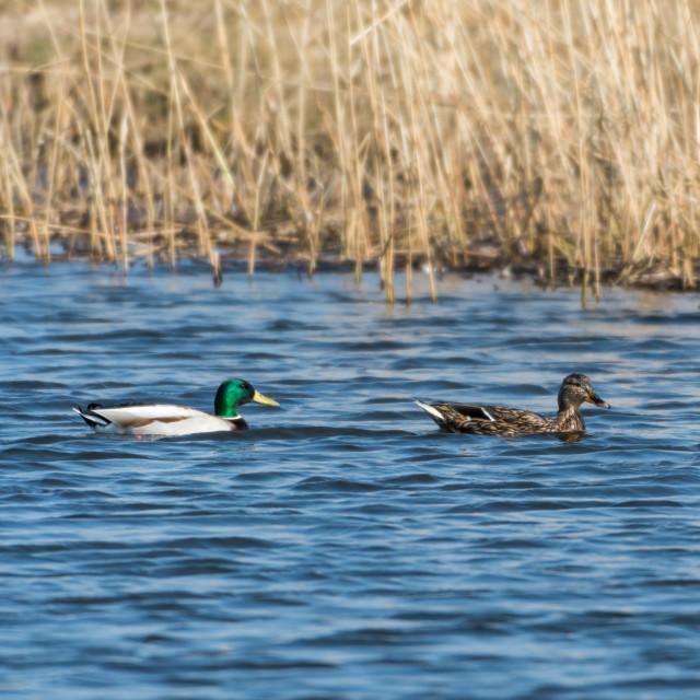 """Mallards couple swimming in natural habitat"" stock image"