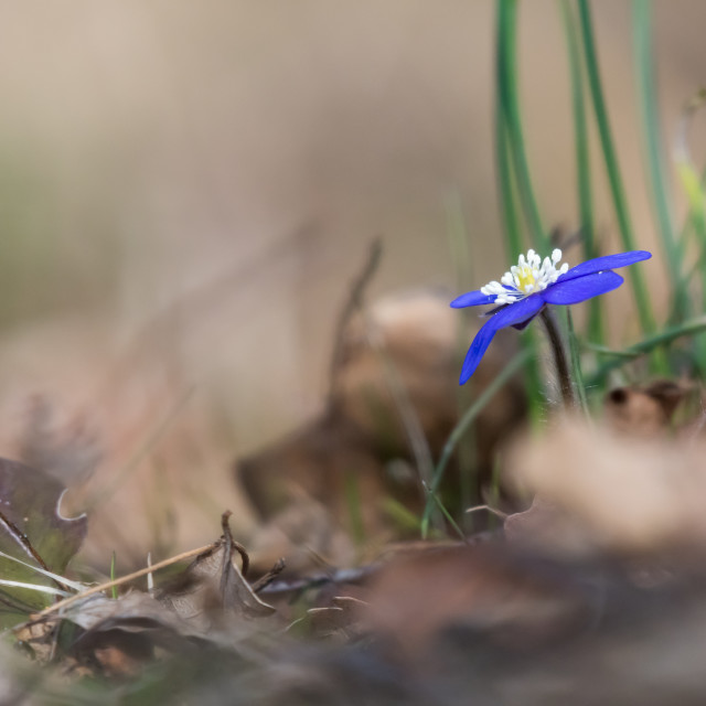 """Beautiful Hepatica Nobilis"" stock image"