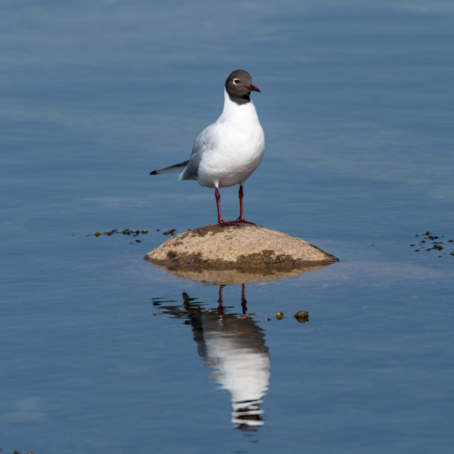 """""""Seagull standing on a rock in a calm water"""" stock image"""