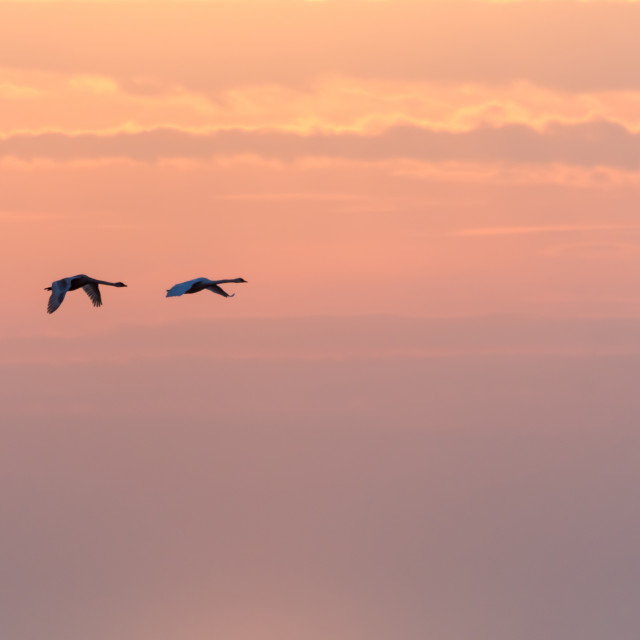 """""""Flying swans by a colorful sky"""" stock image"""