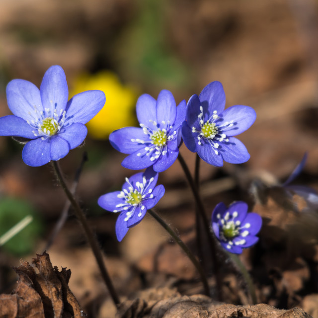 """""""Sunlit Blue Hepaticas"""" stock image"""