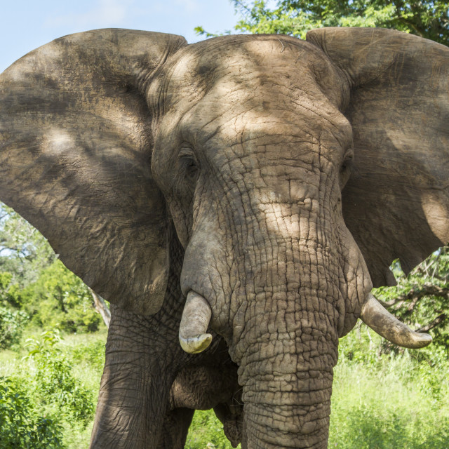 """""""portrait of a wild african elephant, Kruger"""" stock image"""