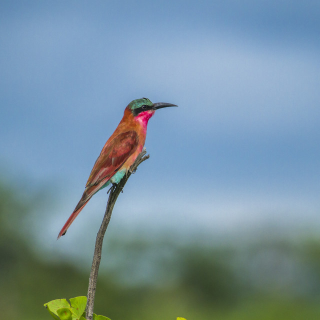 """""""southern carmine bee-eater (Merops nubicoides)"""" stock image"""