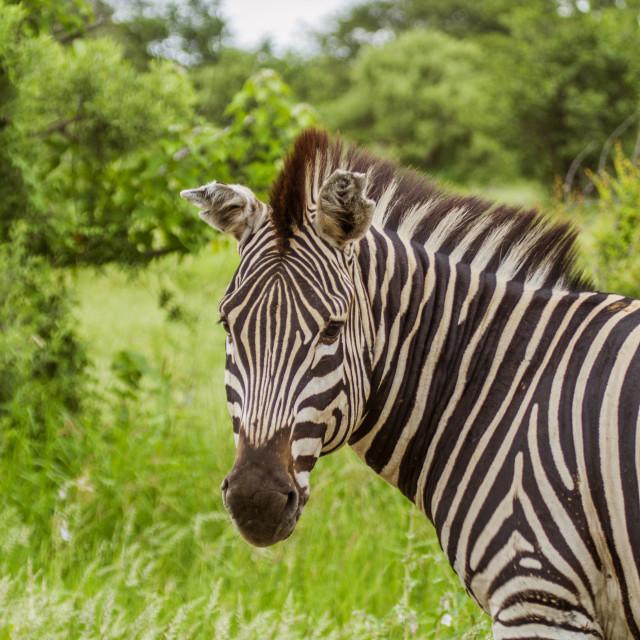 """portrait of a wild zebra in Africa"" stock image"