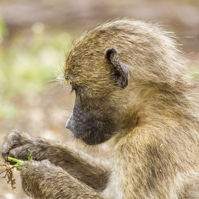 """""""portrait of a chacma baboon, Africa"""" stock image"""
