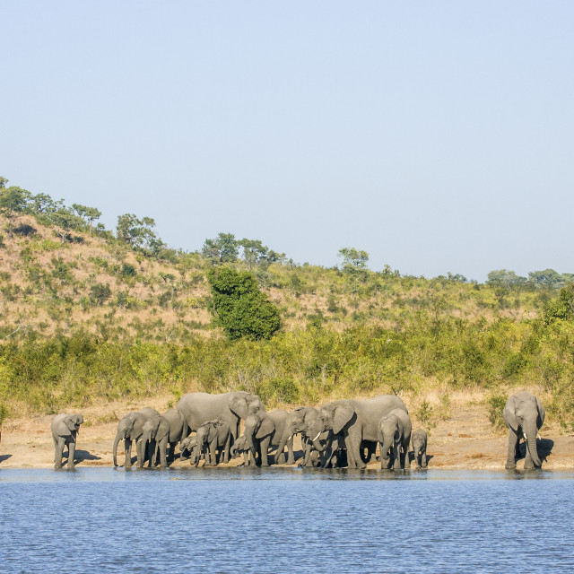 """""""herd of african bush elephants in the riverbank, Africa"""" stock image"""