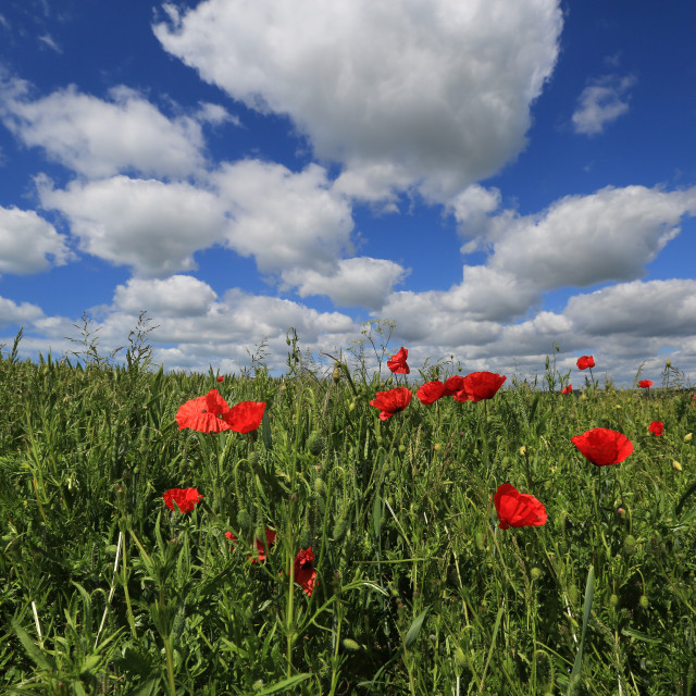 """Poppies in a Sussex Field"" stock image"