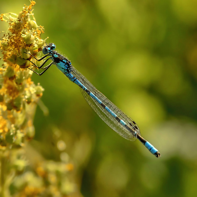 """Blue Dameselfly I"" stock image"