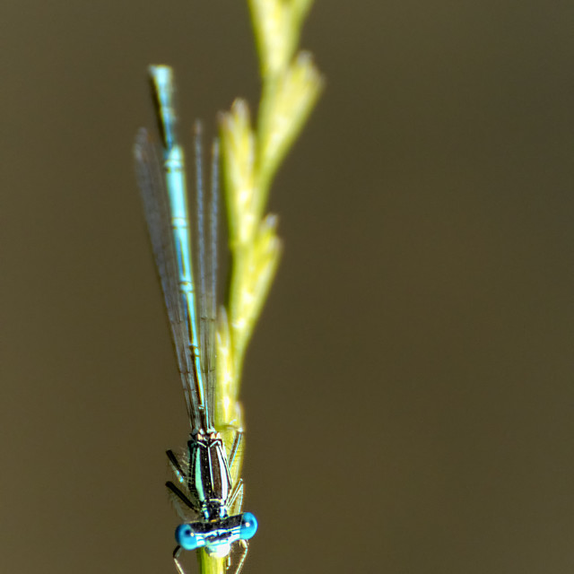 """Blue Damselfly II"" stock image"