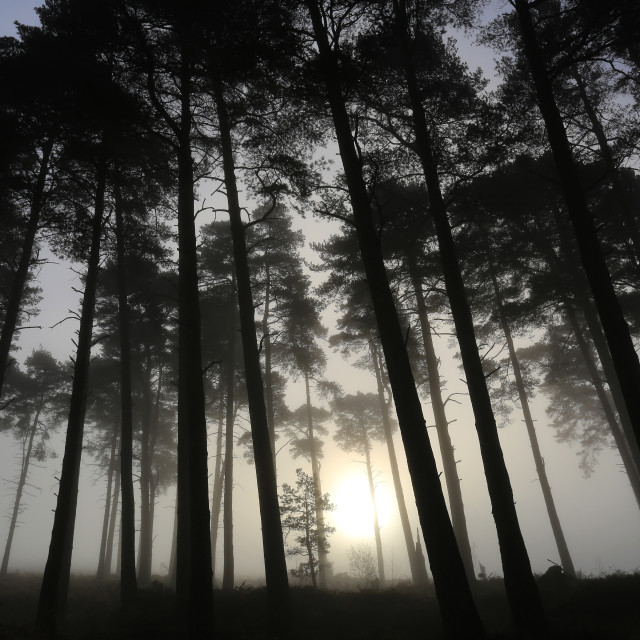 """Morning Mist through trees on Ashdown Forest"" stock image"