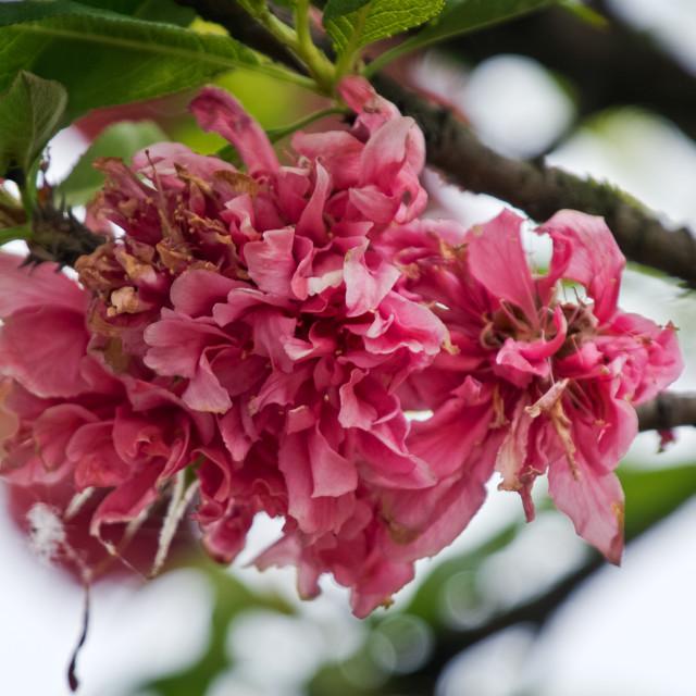 """Tree Blossom"" stock image"