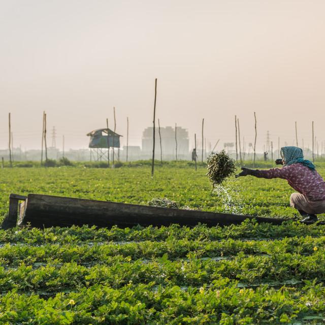 """Harvesting morning glory"" stock image"