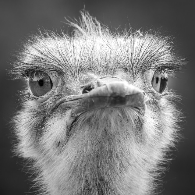 """Ostrich head"" stock image"