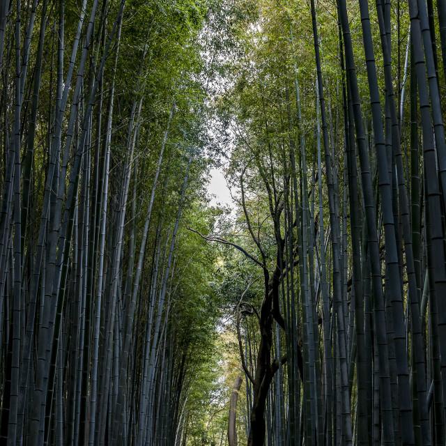 """bamboo grove"" stock image"
