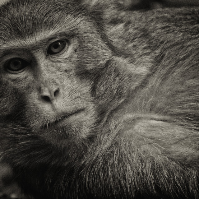 """High Anxiety: An Injured Monkey - Shing Mun Reservoir Park, Hong Kong"" stock image"