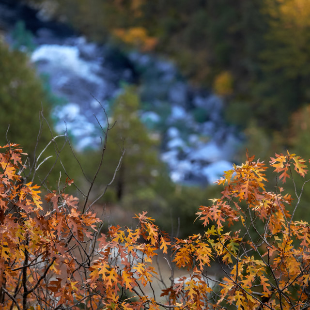 """Leves of an Oak Tree in the Fall Above a Mountain creek."" stock image"