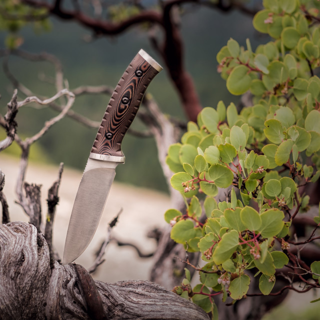 """Fixed Blade Knife Stuck in the Trunk of a Manzanita Tree"" stock image"