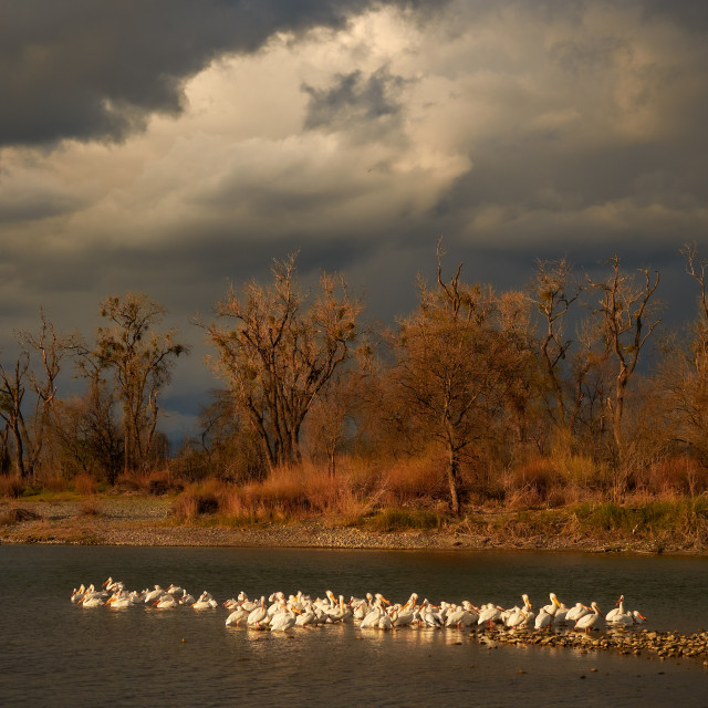 """Flock of Pelicans Standing in the Middle ofa River During a Storm"" stock image"