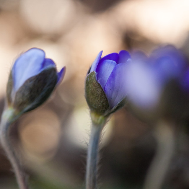 """Hepatica buds"" stock image"