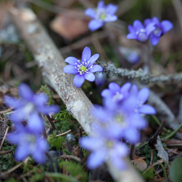 """Blue anemones"" stock image"