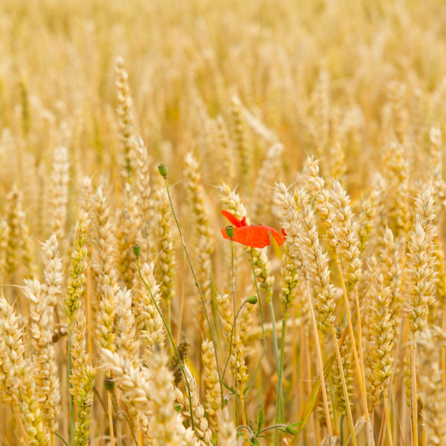 """Poppy in the Wheat"" stock image"