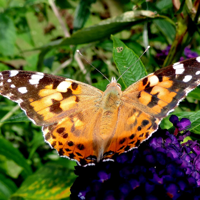 """Painted Lady"" stock image"