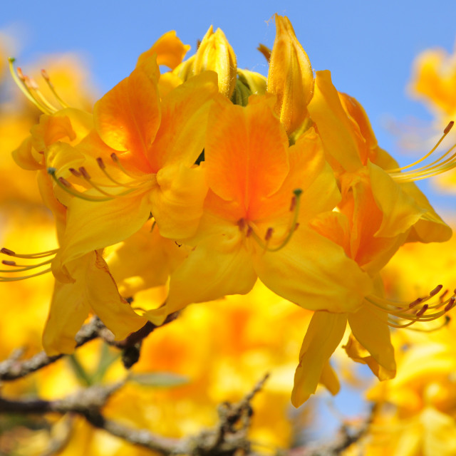 """""""Yellow Rhododendron flowers close up"""" stock image"""
