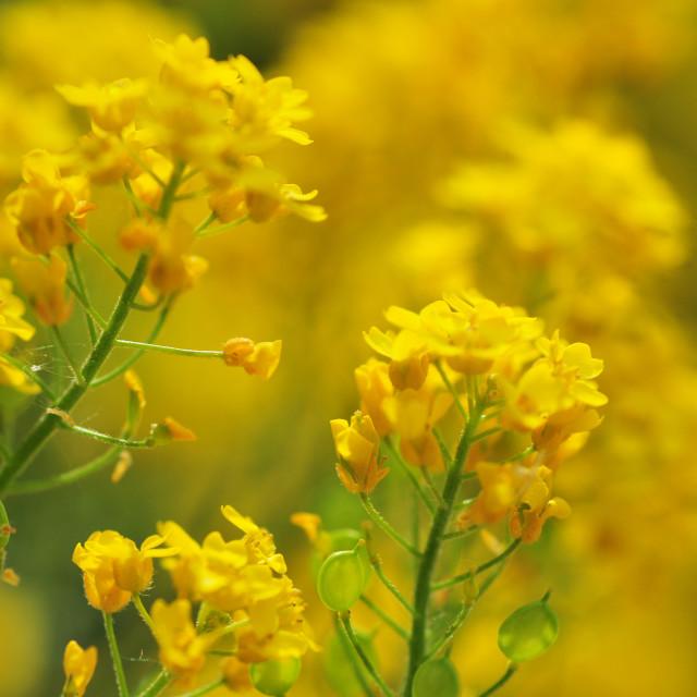 """Golden alyssum close up, selective focus"" stock image"