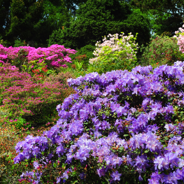 """""""Alpine garden decorated with purple Rhododendron shrub"""" stock image"""
