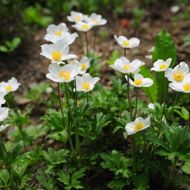 """Group of White Japanese Anemones in Alpine rock garden"" stock image"