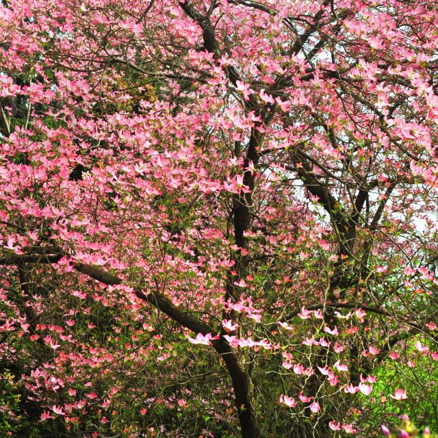 """Abundant bloom of pink Dorgwood tree"" stock image"