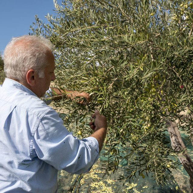 """Hand picking olives during fall"" stock image"